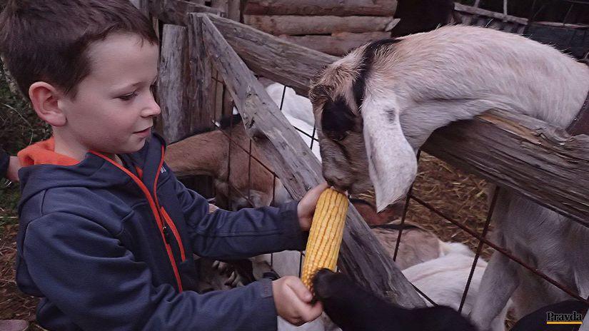 Abeland, ranč, Lozorno, kozy, kŕmenie