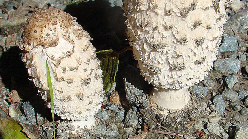hnojník obyčajný