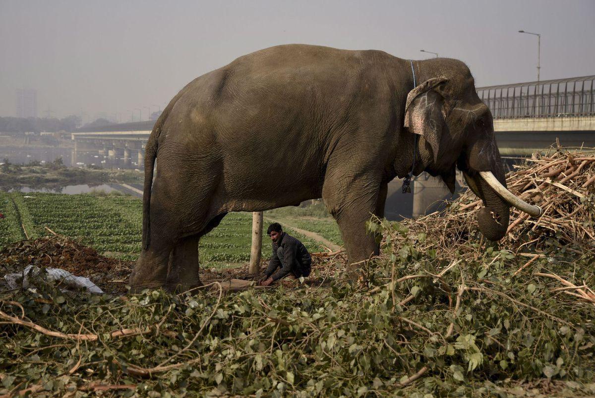 India, slon