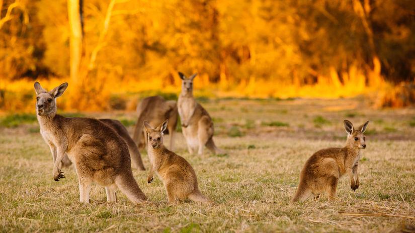klokan, kengura