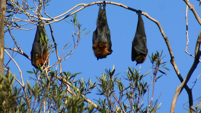 netopiere, Austrália, kaloň