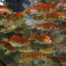 rybičky, akvárium, voda, zvierací obchod