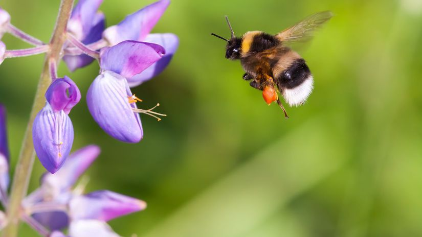 včela, hmyz