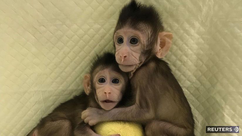 Klonované makaky, opice, primáty, klony