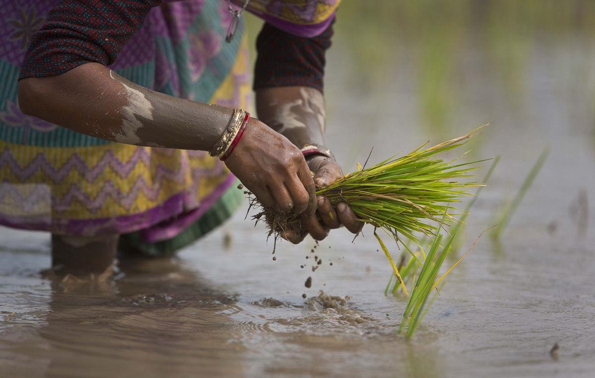 India, ryža, sadenie