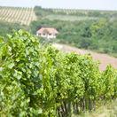 Vinice, vinohrady,