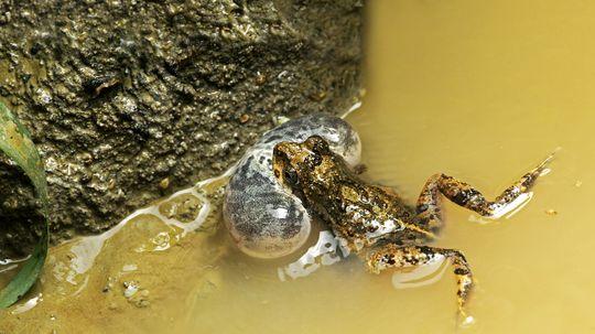 žaba voda