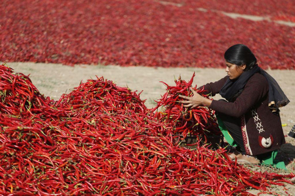 India, čili papričky, papriky