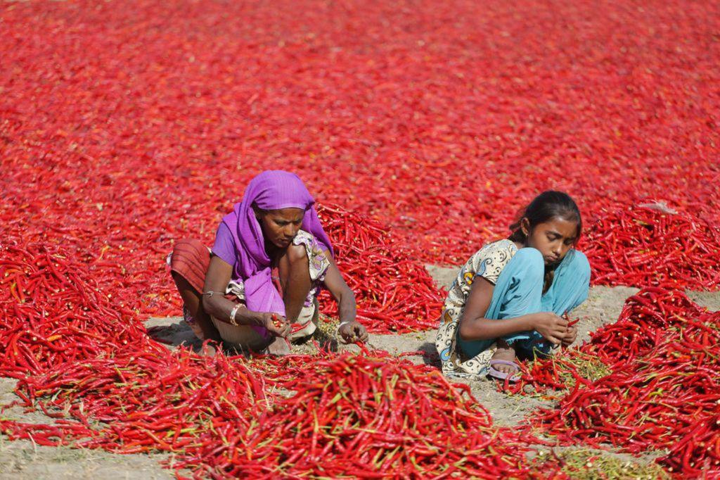 India, čili papriky, papričky, triedenie,