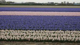 Holandsko, tulipány, kvety