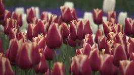 Holandsko, tulipány