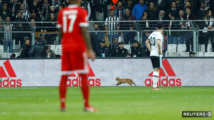 Besiktas Istanbul, mačka