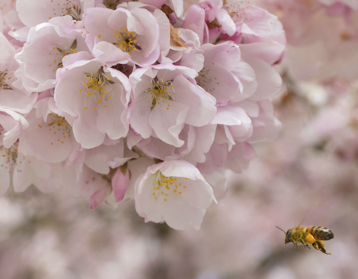 kvety, jar, včela, strom