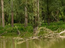 Popadané stromy sú neodmysliteľnou súčasťou luhov. Nad hladinou poskytujú dobré stanovište pre vodné vtáctvo, pod hladinou zas vytvárajú úkryty pre ryby. barat, Barát, dunaj, danube parks 2.0,