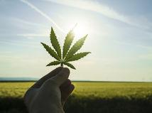 marihuana, drogy