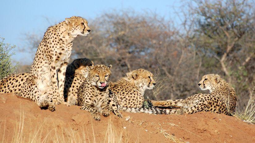 gepard, Namíbia