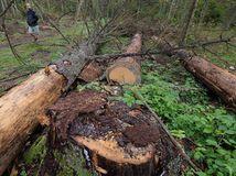 Poľsko, Bielovežský prales, výrub