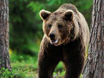 medveď, medveď hnedý