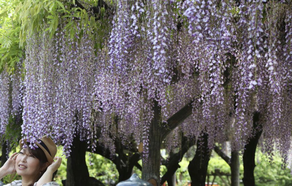 Japonsko, kvety, strom, jar