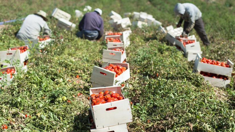 paradajky, Holandsko, brigáda, pole, zber