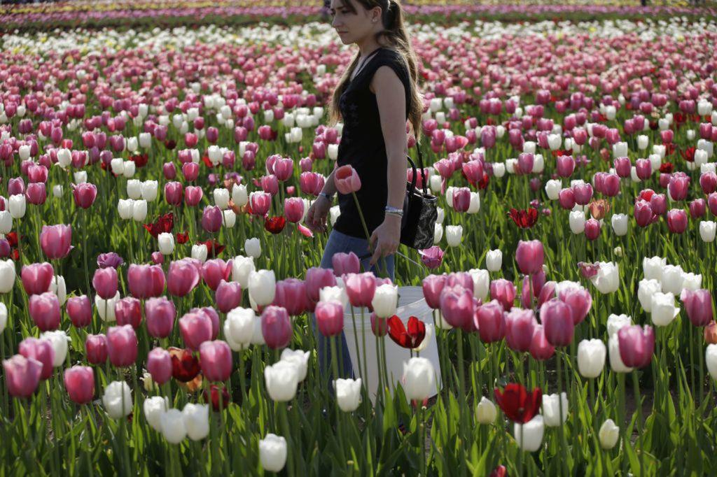 tulipány, kvety, jar,