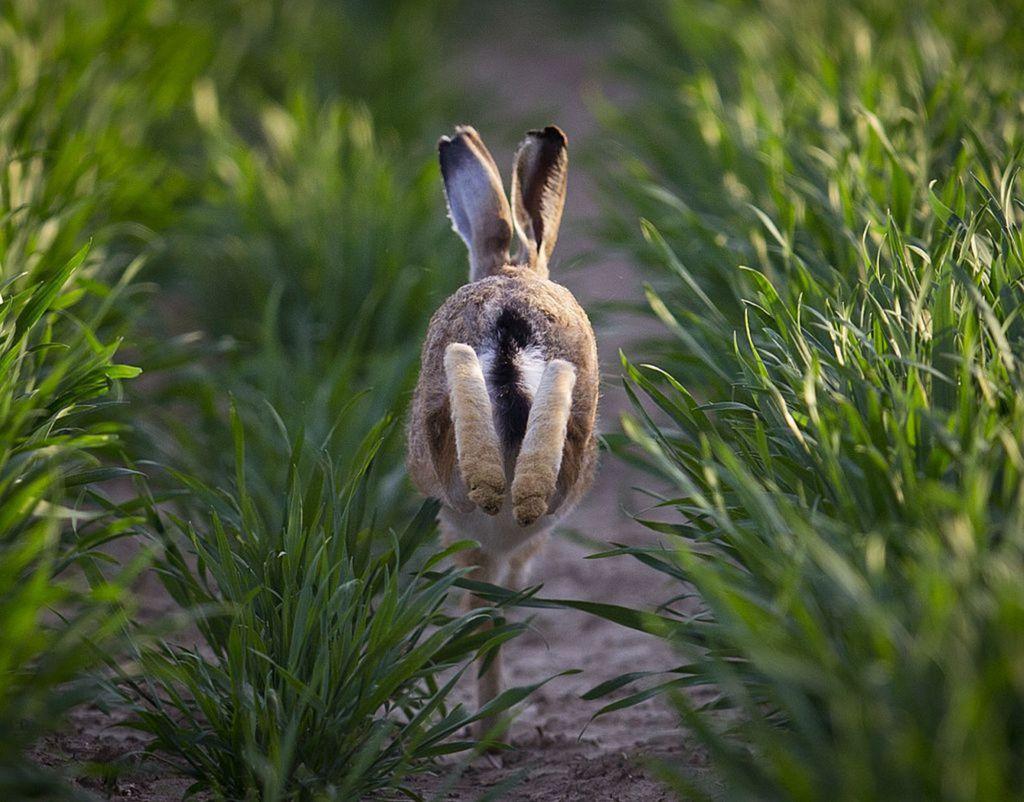 zajac, králik, zviera