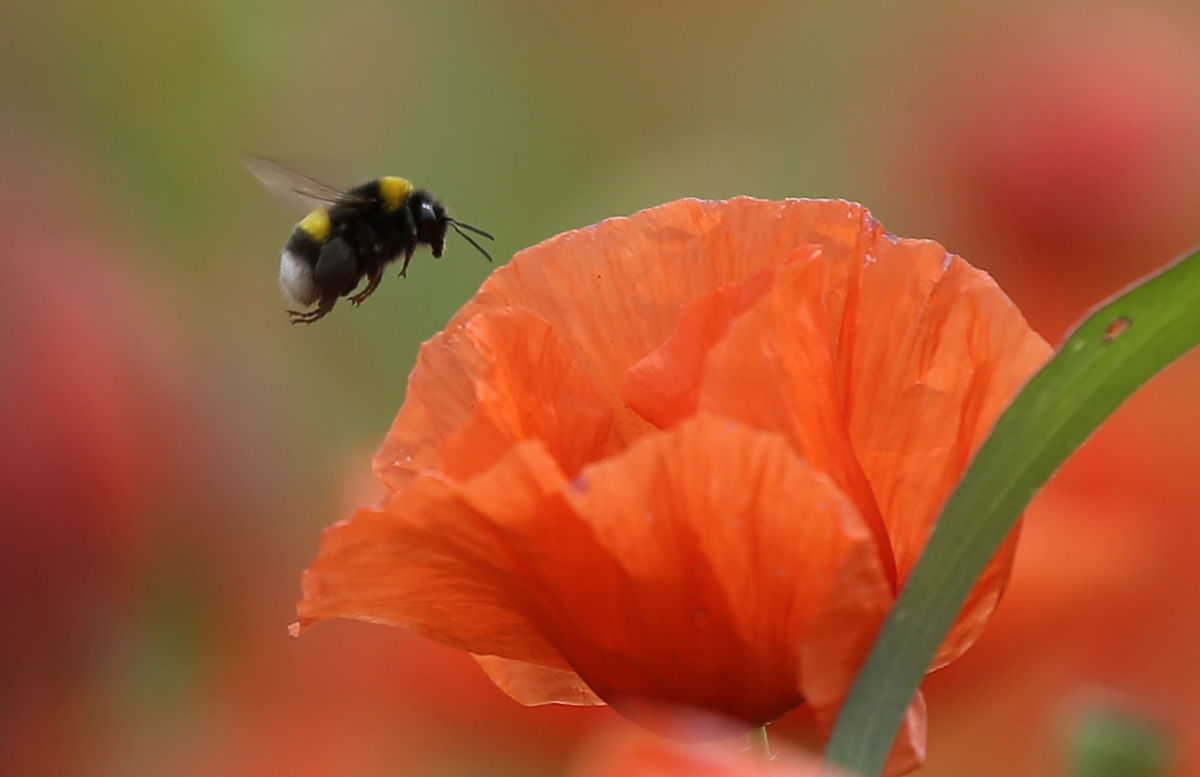 čmeliak, včela, červený mak, kvet