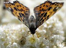 motýľ, kvet, jar, príroda, nektár