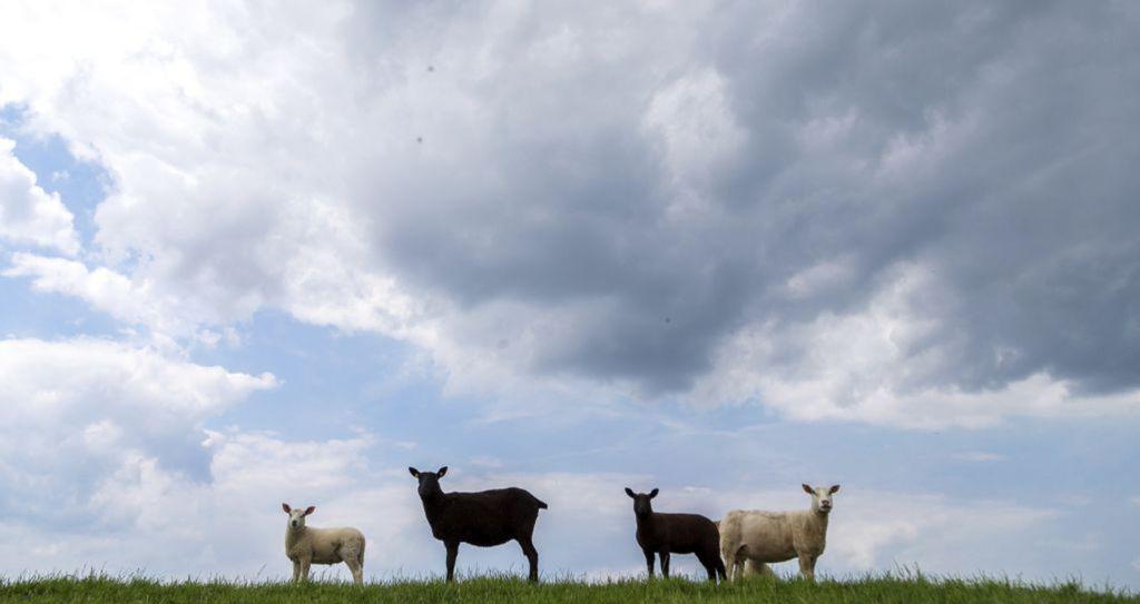 ovce, zvieratá, hospodárstvo, farma