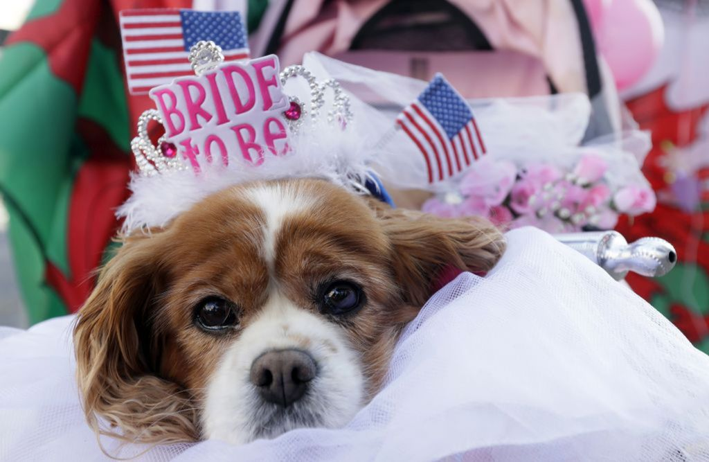 pes, svadba,