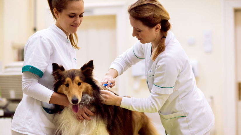 čipovanie, pes, veterinár