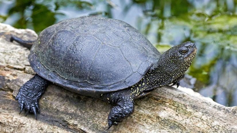 korytnačka