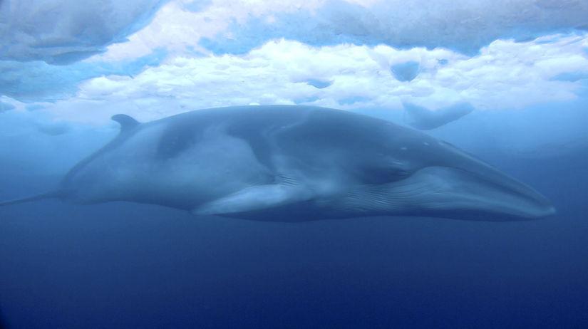 vráskavec minke