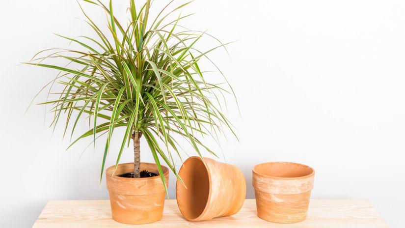 Dracéna, izbové rastliny
