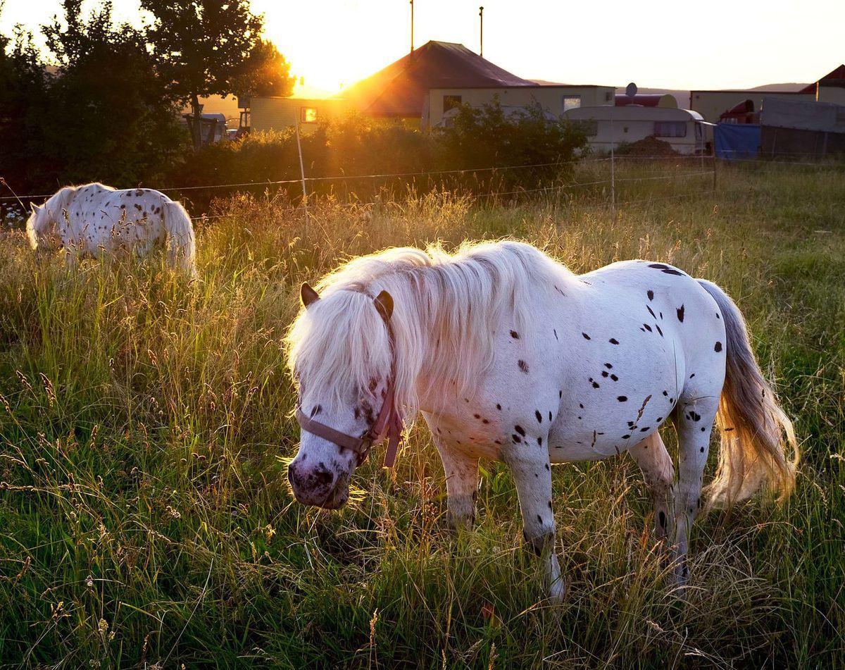 kone, kôň, zviera, poníky,