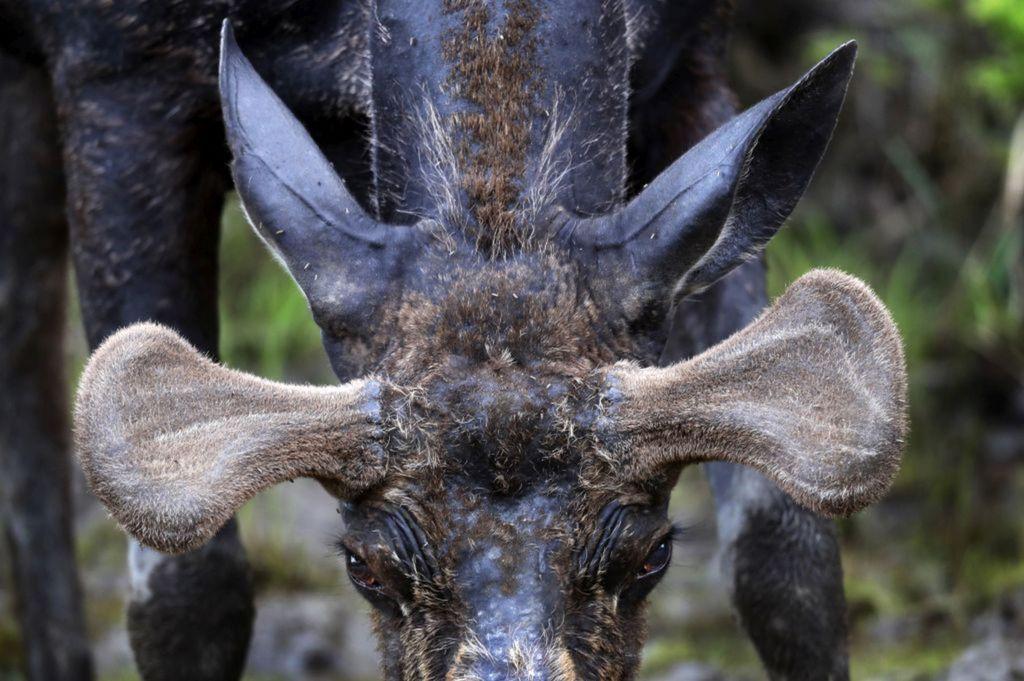 New Hampshire, los, zviera