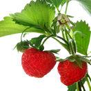 jahody, záhrada