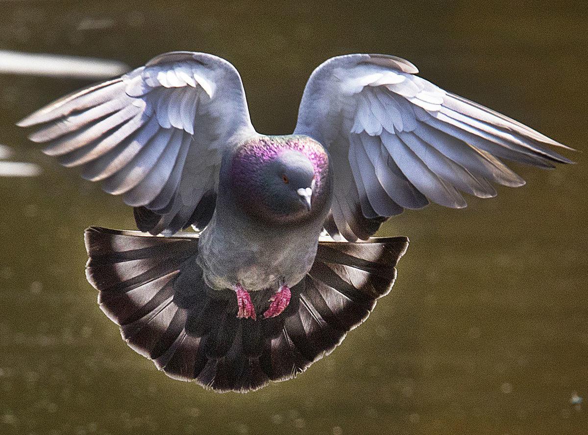 holub, vták