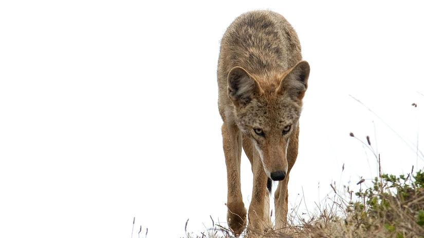 Kojoty