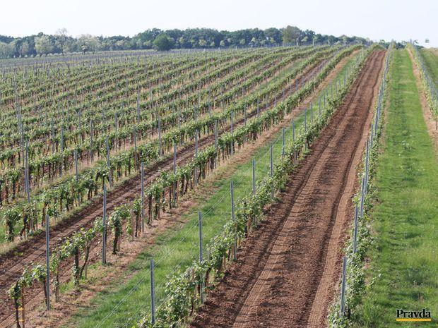 Obrázok Vinohrady ako obraz krajiny