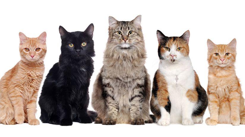 mačka, mačky