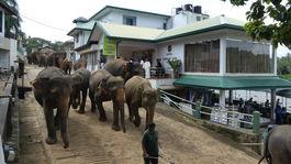 slony Srí Lanka Pinnawala rieka