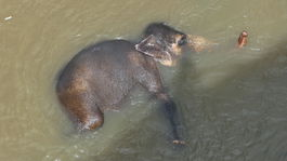 slon rieka Pinnawala Srí Lanka