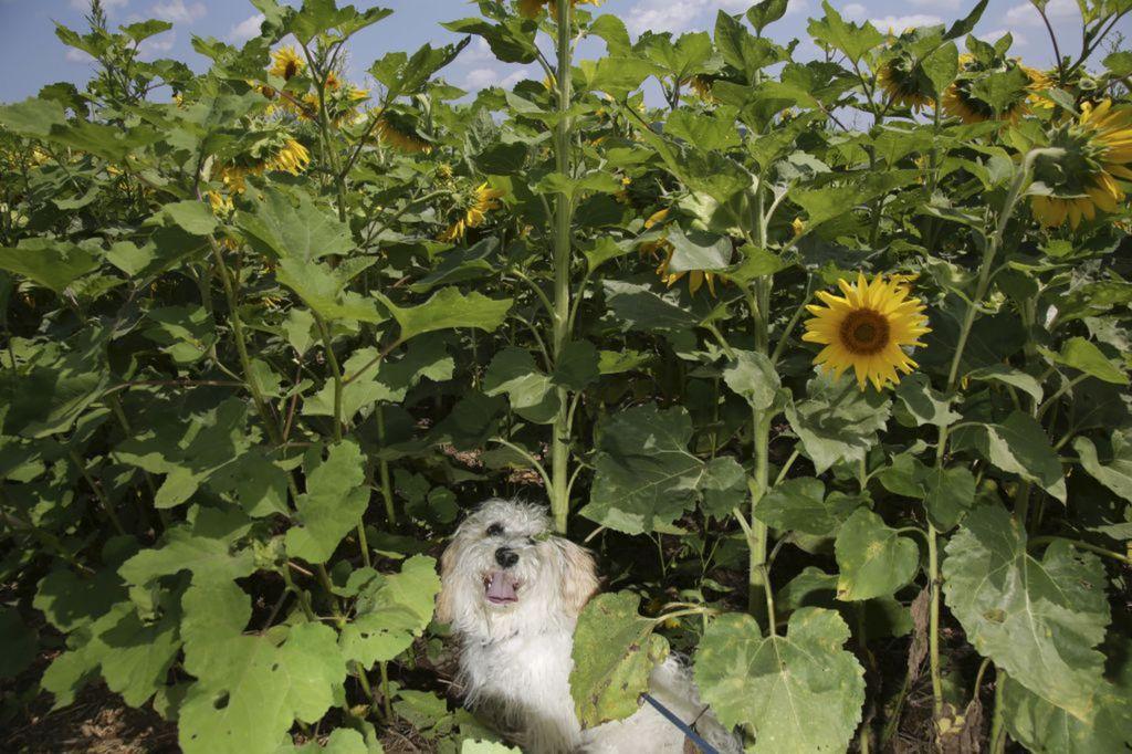 New Jersey, pes, slnečnice