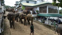 slony kracaju do rieky v Pinnawale