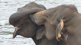 sloni bozk Pinnawala Sri Lanka slon