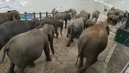 slony vstupuju do rieky v Pinnawale