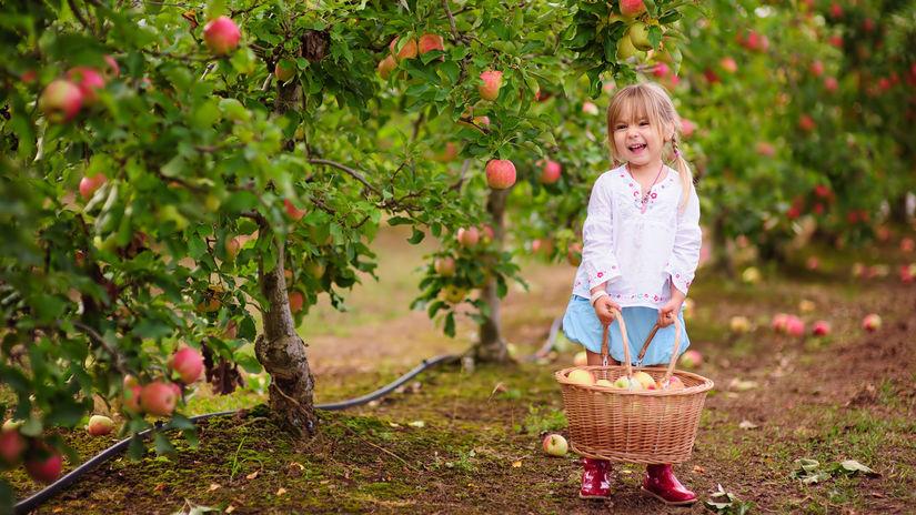 jablko, úroda, zber, ovocie