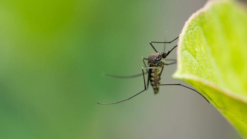 komár, Culex modestus