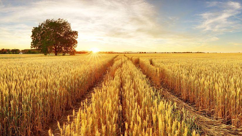 pole, pšenica,